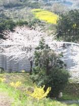 景色(桜と菜の花)