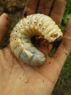 おっきな幼虫