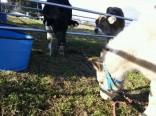 牛とアトム