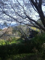 桜とエノコロ