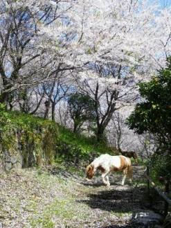 桜が似合うチャマ