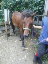 放牧した馬を小屋へ。